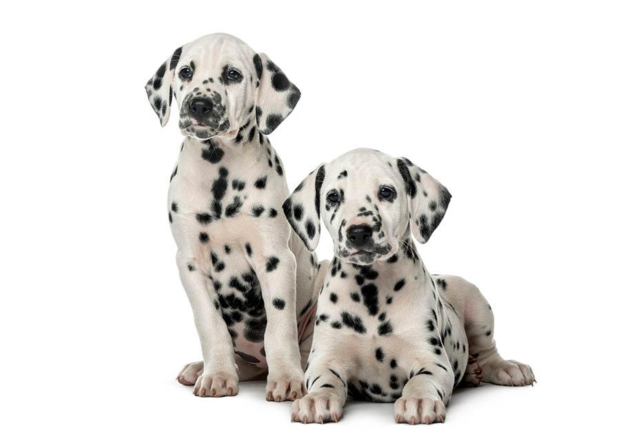 Royal Canin 174 Medium Puppy Dry Dog Food